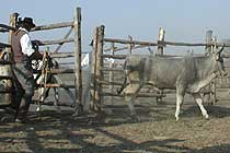 cattle work